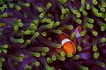 False Clownfish anemone Splendid Host Wakatobi Indonesia