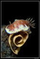 Chromodoris laying eggs... eggs