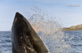 widely held misconception Great White sharks breach South Africa. Freckles 4m male who aerial specialist attacking baits 56 Ks hour enable him launch his entire body water. Africa water