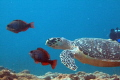 Hawksbill turtle swimming two Initial Phase Redband Parrotfish Big Coral Knoll off beach Fort Lauderdale. Lauderdale