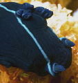 Black Nudibranch