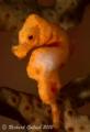 Denises Pygmy SeahorseLembehsnoot lighting Seahorse-Lembeh-snoot Seahorse Lembeh snoot