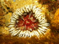 Anemone taken Harbour Wall Mossel Bay South Africa