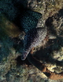 Spotted Moray coming greet me