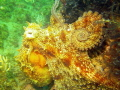 Common Octopus Angies Reef Mossel Bay