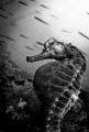 "Pot Bellied Seahorse BW. taken Tokina 1017mm 1.4 teleconverter. B&W"". B&W"" 10-17mm 10 17mm 14 teleconverter"