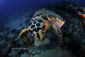 Hawksbill Turtle Personal Space Issue along reefs Juno Beach FL about 70 feet. feet