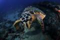 Hawksbill Turtle Personal Space Issue along reefs Juno Beach FL about 70 feet. feet