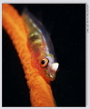 Sea whip goby GF1 45mm 1x Z240180 f8.0 iso 100 1/80 180 80 f80 f8