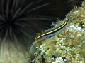 sea urchin neon gobi fore ground w/