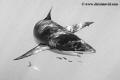 Portrait Caribbean reef shark found Cuba Jardines de la Reina. Reina