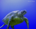 Green Turtle 20m no strobe. Rapae Wall Aitutaki Cook Islands strobe