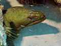 large ugly green moray eel ...