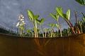 Menyanthes trifoliata. Sodankyl North Finland.Aquatica ad7002x inon z240 strobes. trifoliata Finland. Finland strobes