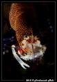 Shrimp Female Gnathophyllum elegans. elegans). elegans)