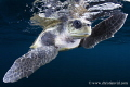 Close Loggerhead turtle found miles off coast Ixtapa Mexico. Mexico