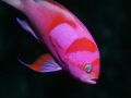 Neon Fairy Basslet Pseudanthias Pleurotaenia These fishes are quite nervous difficult catch 100 macro lense