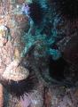 Octopus Farnsworth Reef Catalina. Catalina