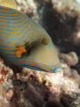 Olympus Pen1 Magic Filter. Undulate triggerfish swimming about 12m 40ft water reefs Maldives. Filter Maldives