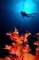 Soft Coral Diver.Double exposure Diver. Diver