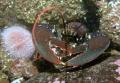 Lobster taken Canon A570is Epoque Strobe. Strobe