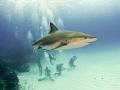 carribean reef shark divers below