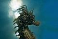seahorse backlight Nikon d700 Nikor105mm lens