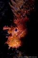 Mediterranean scorpionfish portrait Scorpaena scrofa