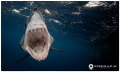 Scream Paris Short Fin Mako taken North Neptune Island South Australia.This feisty sub 3m female shark turned during Great White tagging trip chasing away 5m White. She loved camera just like Hilton AustraliaThis Australia This