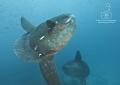 Wandering Spaceships Mola molas Punta Vicente Roca cleaning station Isla Isabella Galapagos. Galapagos
