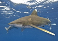 Pace Quickens two oceanic whitetips Carcharhinus longimanus dart front me quickly wipe water bubbles off my dome..... dome