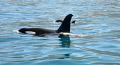 Koru New Zealand Orca his son Shadow off Kaikoura