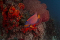 Queen angel fish blackjack dive site Tobago near speyside