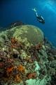 Diver swimming large brain coral