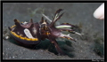 Baby Flamboyant Cuttlefish...Lembeh KavpalIndahCanon 40D Canon 60 2xYS1101100 f4.5 Asa100 Cuttlefish... Cuttlefish Kavpal-Indah KavpalIndah Kavpal Indah 2xYS-110 2xYS110 2xYS 110 1/100 1100 100 f:4.5 f:45 f:4