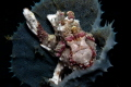 Small Warty Frogfish sponge