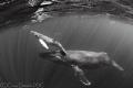 Baby Steps Humpback whale her calf swimming together Socorro Islands. Islands