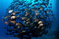 Bronze Circle School fish off Socorro Island. -- Island