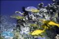 Yellosaddle Goatfish Canon 5d Mark2 2780 f28 Nimar Housing No Strobes One Breath Photo 27-80 27 80