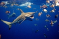 Shark dive about twenty Black Tips around when was lucky get one them who had just eaten tail fish