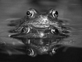Frogs Reflection