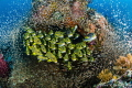 Sweetlips Glass Fish