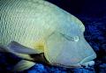 Napoleon Fish Sharm il Sheik Egypt