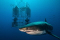 Guadalupe Island definitly best place earth dive Great White sharks. Be sure stay cage sharks