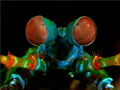 This mantis shrimp portrait Ive taken indonesian waters.Have fun watching waters. waters (-: (: