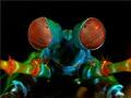 This mantis shrimp portrait Ive taken indonesian waters.Have fun watching waters. waters (-: (:
