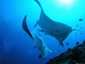 This shot two manta rays came end liveaboard dive trip Maldives. pair seemed be performing courting ritual went ages were oblivious me Maldives
