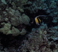 Moorish Idol. Big Island Hawaii. Idol Hawaii