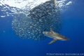 floating board creates some open water refuge these juvenile jacks. Silky Sharks Yellowfin Tuna Dolphins attacked this baitball. jacks baitball