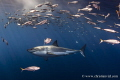 Isla Guadalupe Mexico. Great White Shark swimming among fishes. Mexico fishes